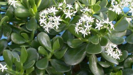 Ocultu news feng shui crassula money plant for Plante feng shui